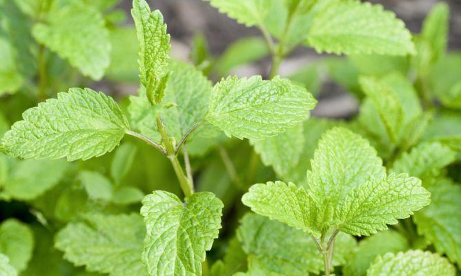 Diferencias entre hierbabuena y menta molletes y hambre y micerveza - Hogarutil plantas ...